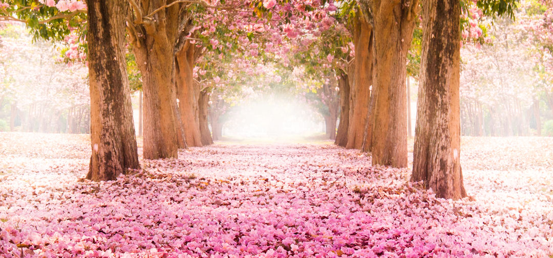 pink_flowers_1080_505